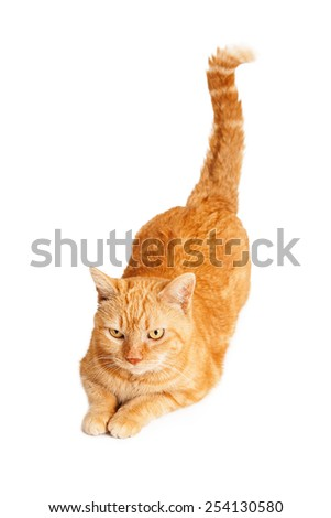 A beautiful orange striped cat laying with back end and tail up
