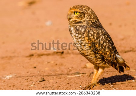 A beautiful owl in the desert. This Owl makes holes in the ground and leaves hunting little animals like insects and rats. - stock photo