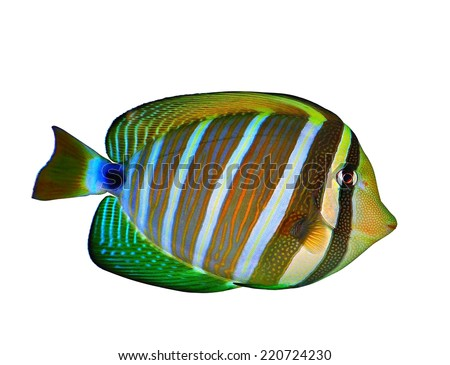 A beautiful Pacific Sailfin Tang fish (Zebrasoma veliferum) isolated on a white background. - stock photo