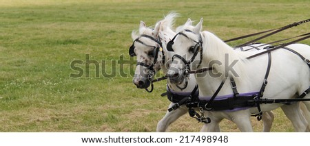 A Beautiful Pair of Harnessed Grey Horses. - stock photo