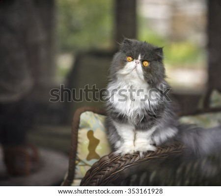 A beautiful Persian cat with a grumpy face and yellow eyes sits on a wicker chair staring out from behind a screen door. - stock photo