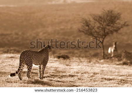 A beautiful photo of a cheetah lying on the hill top looking straight at the camera. Taken on safari in Africa.