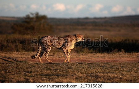 A beautiful photo of a cheetah lying on the hill top looking straight at the camera. Taken on safari in Africa. - stock photo