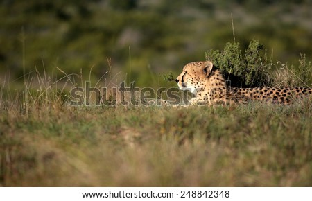 A beautiful photo of a cheetah lying on the hill top looking straight at the camera. Taken on safari in Africa. soft focus - stock photo