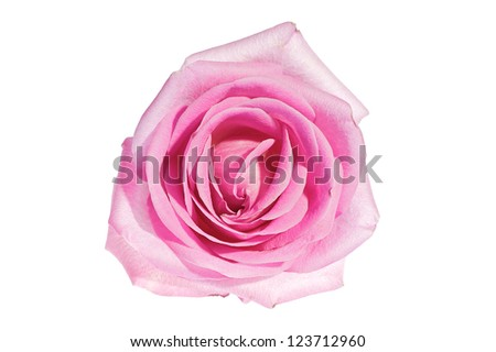 A beautiful pink rose against a white background. Pink roses are a great sign of romance and love - stock photo