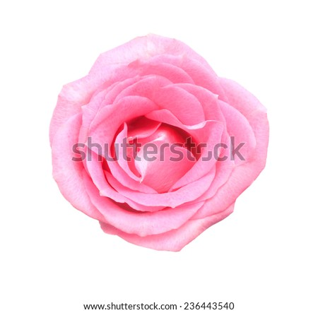 A beautiful pink rose against a white background. Pink roses are a great sign of romance and love
