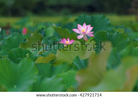 A beautiful pink waterlily blooming among green leaves in a lotus pond ~ Telephoto view  of a lovely lotus flower in full bloom - stock photo