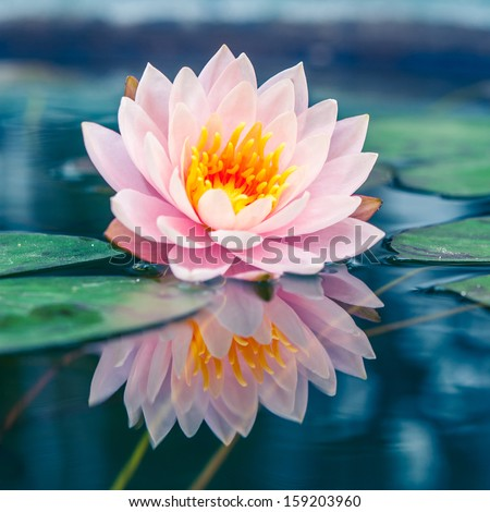 A beautiful pink waterlily or lotus flower in pond - stock photo