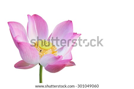 A beautiful pink waterlily or lotus flower on isolated background