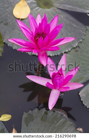 A beautiful Pink Waterlily or water lily flowers blooming on the lake - stock photo