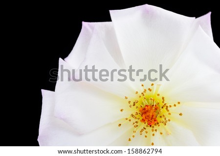 A Beautiful Pink/White rose isolated on a black background - stock photo