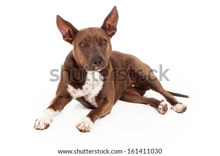 A beautiful Pit Bull crossbreed dog laying down
