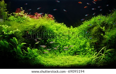 A beautiful planted tropical freshwater aquarium with bright blue neons and rummy nosed tetra fishes - stock photo
