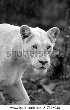 A beautiful portrait of a huge white lioness. - stock photo