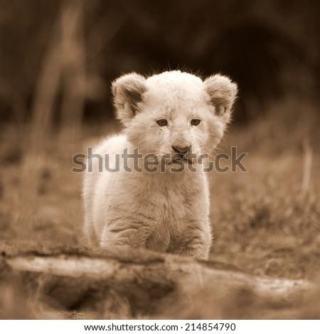 A beautiful portrait of a white lion cub in sepia tone. - stock photo