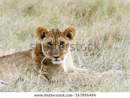 A beautiful portrait of lion cub - stock photo