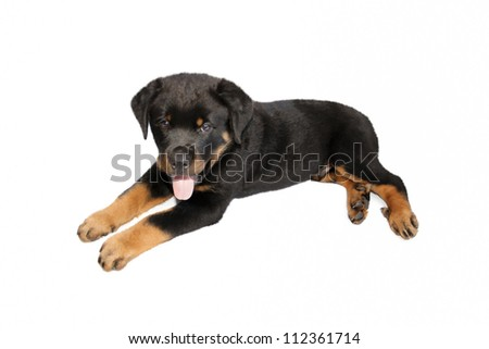 A beautiful puppy resting on white background