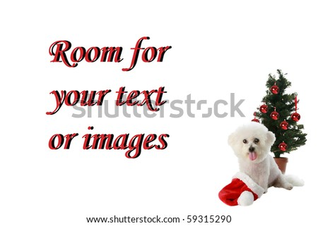a beautiful pure bred Bichon Frise celebrates Christmas and Winter Holidays while Isolated on white with room for your text or images - stock photo