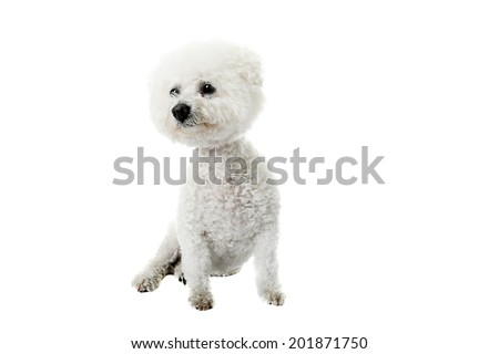 A Beautiful pure breed Bichon Frise dog looks eats her dinner from a Heart Shaped Ceramic Bowl as she has her portrait taken. Isolated on white with room for your text.  - stock photo