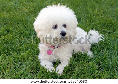 A beautiful pure breed Bichon Frise enjoys an warm spring afternoon in the sun while laying in fresh cut green grass. - stock photo