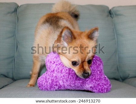 A beautiful pure breed Pomeranian Dog Smiles and plays with her favorite Squeaky toy. Pomeranian Dogs are good dogs for small apartments and are friendly with other dogs and pets.   - stock photo