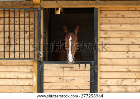 A beautiful purebred bay horse looking away in stable door  - stock photo