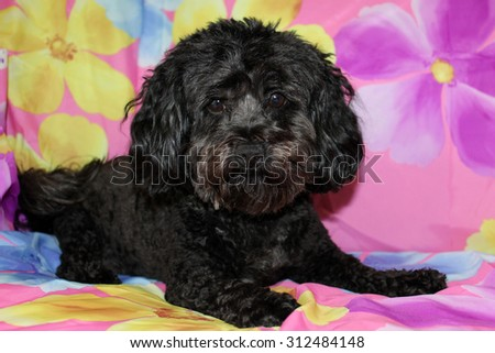 A beautiful purebred female black Maltipoo Puppy smiles as she lays upon a colorful flower pattern silk background as she has her portrait taken. White Dogs are loved by people around the world.  - stock photo