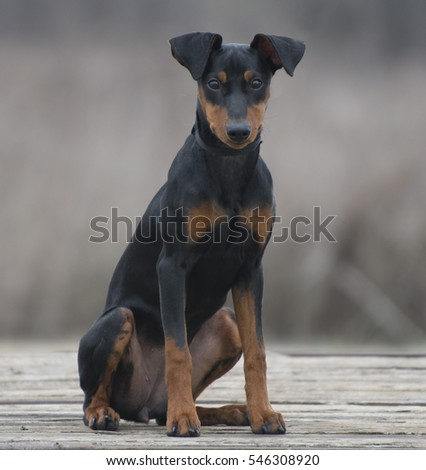 A beautiful purebred five-month-old black-and-tan German pinscher puppy sits on a rustic wood surface, looking into the camera, isolated from the background by shallow field of focus.
