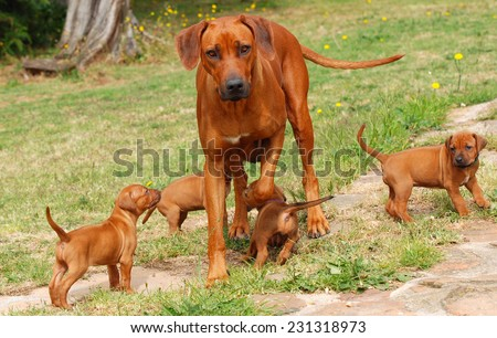 A beautiful purebred Rhodesian Ridgeback female playing with her four puppies outdoors on blurry green grass background.