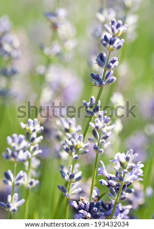 A beautiful purple lavender flowers - field - stock photo