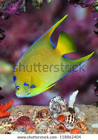 A beautiful Queen Angelfish (Holacanthus ciliaris) feeding amid colorful seashells and a purple coral reef. - stock photo