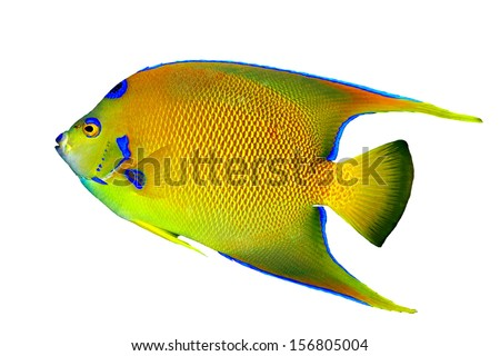 A beautiful Queen Angelfish (Holacanthus ciliaris] isolated on a white background. - stock photo