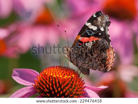 A beautiful Red Admiral butterfly feeds on the nectar of a Purple Coneflower in a midwestern prairie. - stock photo