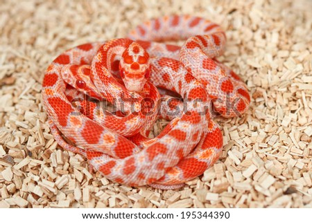 a beautiful red corn snake. - stock photo