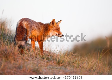 a beautiful red fox - stock photo
