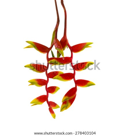 a beautiful red Heliconia flower, tropical flower isolated on a white background  - stock photo