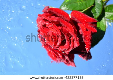 a beautiful red rose with reflection in pure water