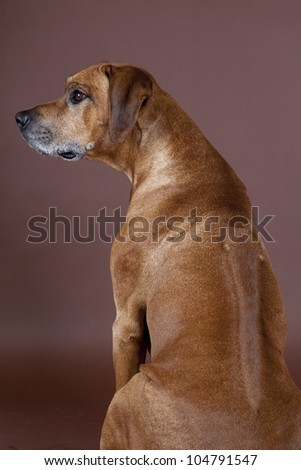 A beautiful Rhodesian  Ridgeback male hound dog showing his ridge isolated on studio backbround