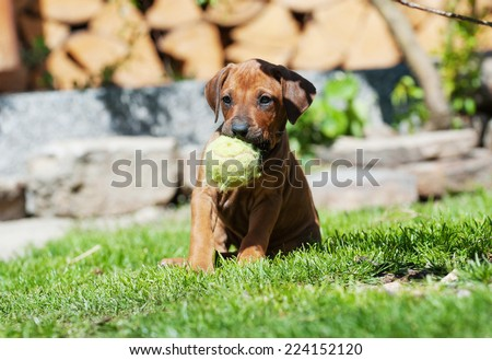 A  beautiful Rhodesian Ridgeback puppy is playing with a dog toy in backyard. Image taken on a sunny day in summer.