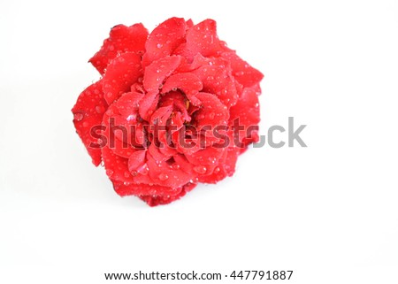 A beautiful rose on white background