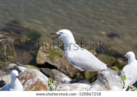 A beautiful seagull   adult  seabirds of family Laridae in sub-order Lari  standing   between  granite rocks at Bunbury's old harbour Western Australia  in spring are protecting the young chicks.