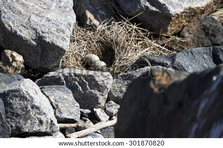 A beautiful seagull   seabird of family Laridae in sub-order Lari  has left  its nest  between  granite rocks at Bunbury old harbour Western Australialeaving its speckled  brown eggs unattended.