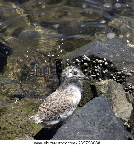 A beautiful seagull   seabird of family Laridae in sub-order Lari  young  brown downy speckled chick  is  perched on a  granitic rock    in early summer waiting for its mother  to feed it. - stock photo