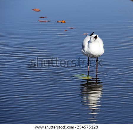 A  beautiful seagull  seabird of the family Laridae in the sub-order Lari  reflected in the  puddle is enjoying a cool sip of water  in the parking area of the park on a sunny summer afternoon. - stock photo