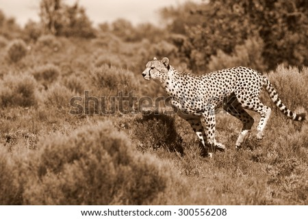 A beautiful sepia tone image of a cheetah running and hunting oven the plains.Taken on safari in Africa. - stock photo