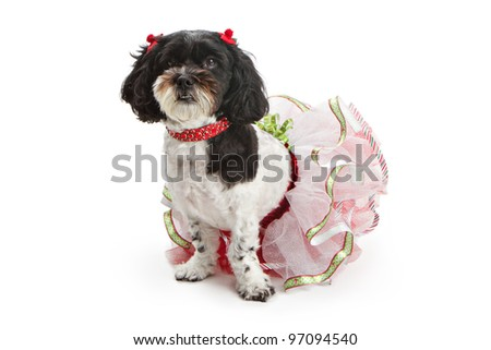 A beautiful Shih Tzu and Poodle cross breed dog wearing a Christmas outfit and sitting against a white backdrop
