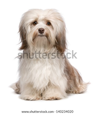 A beautiful sitting chocolate havanese dog is looking to camera isolated on white background - stock photo