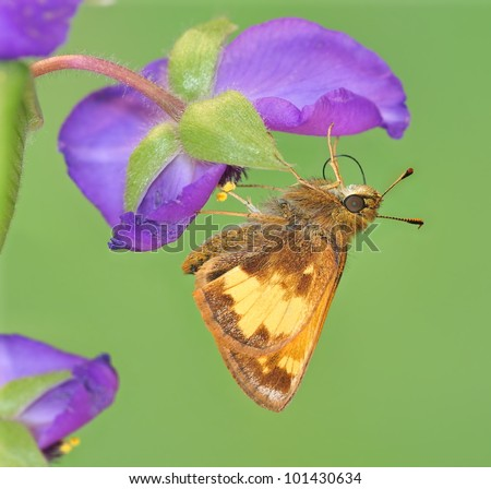 A beautiful Skipper butterfly (Poanes hobomok) at a woodland wildflower. - stock photo
