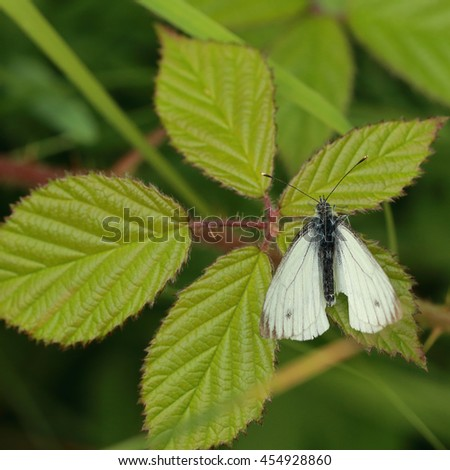 A beautiful Small White Butterfly perched on a green leaf - stock photo