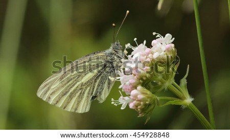A beautiful Small White Butterfly perched on a white flower - stock photo
